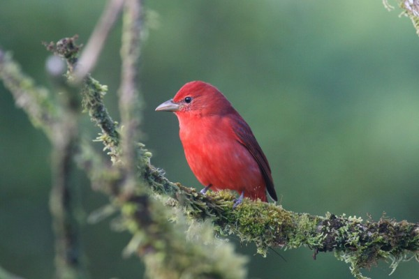 Summer Tanager, Costa Rica, Naturalist Journeys