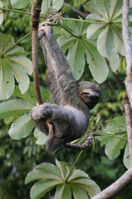 Three-toed Sloth, Costa Rica, Naturalist Journeys