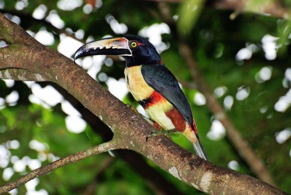 Collared Aracari, Costa Rica, Naturalist Journeys
