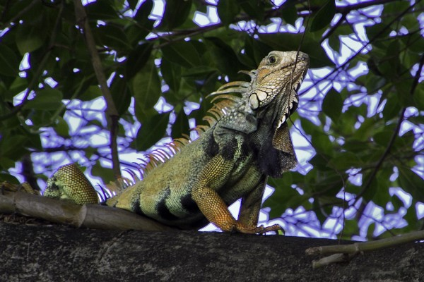 Green Iguana, Puerto Rico, Dominican Republic, Naturalist Journeys, Caribbean Birding Tour