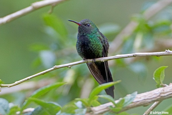 Hispaniolan Emerald, Dominican Republic, Naturalist Journeys, Caribbean Birding Tour
