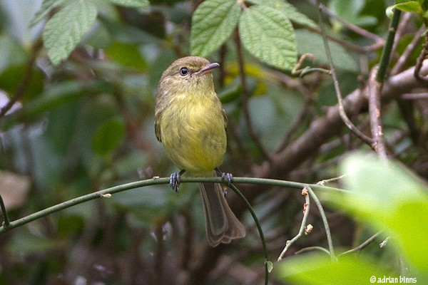 Flat-billed Vireo, Dominican Republic, Naturalist Journeys, Caribbean Birding Tour