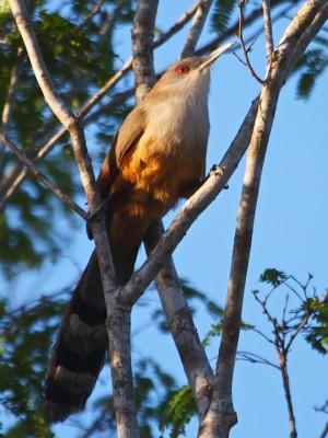 Great Lizard Cuckoo, Cuba, Naturalist Journeys, Cuba Nature Tour