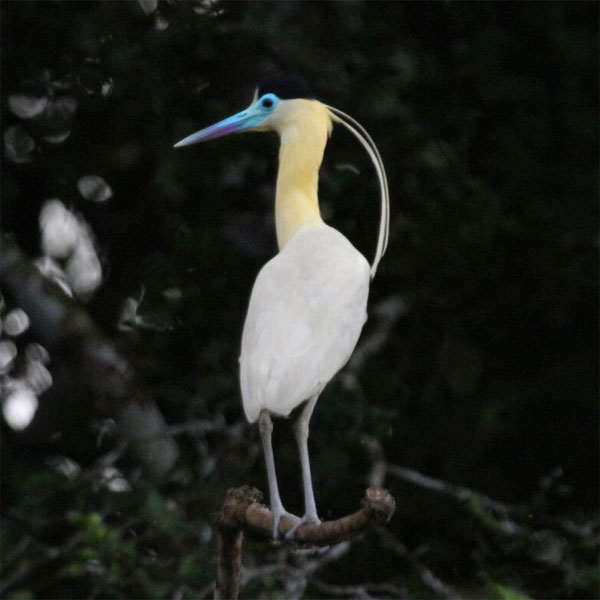 Capped Heron, Guyana, Naturalist Journeys, Guyana Wildlife Tour, Guyana Eco Tour, Guyana Birding Tour