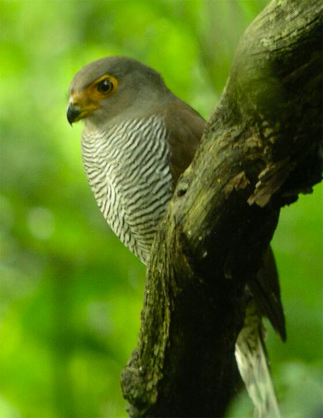 Barred Forest-Falcon, Belize, Naturalist Journeys