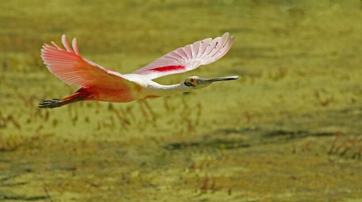 Roseate Spoonbill, South Texas, Naturalist Journeys