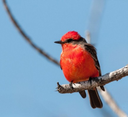 Vermillion Flycatcher, South Texas, Naturalist Journeys, Texas Birding Tour