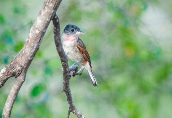 Rose-throated Becard, South Texas, Naturalist Journeys, Texas Birding Tour