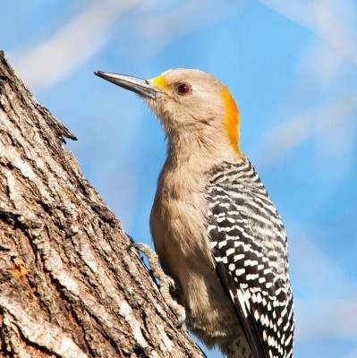 Golden-fronted Woodpecker, South Texas, Naturalist Journeys, Texas Birding Tour