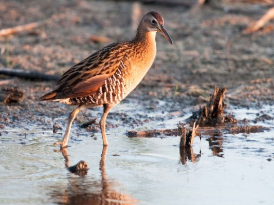 Virginia Rail, South Texas, Naturalist Journeys, Texas Birding Tour