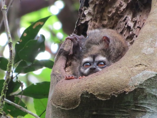Night Monkey, Darien, Panama, Naturalist Journeys, Panama Birding Tour