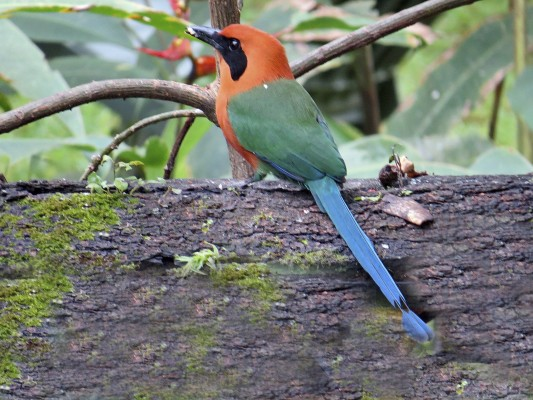 Broad-billed Motmot, Panama, Darien, Naturalist Journeys, Panama Birding Tour
