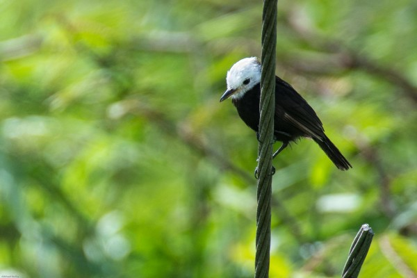 White-headed Marsh Tyrant, Panama, Darien, Naturalist Journeys, Panama Birding Tour