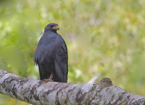 Common Black Hawk, Panama, Darien, Naturalist Journeys, Panama Birding Tour