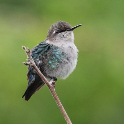Bee Hummingbird, Cuba Birding Tour, Cuba, Naturalist Journeys