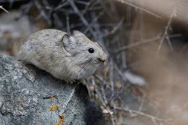 large-eared Pika, India, Naturalist Journeys, Himalayas, India Wildlife Tour