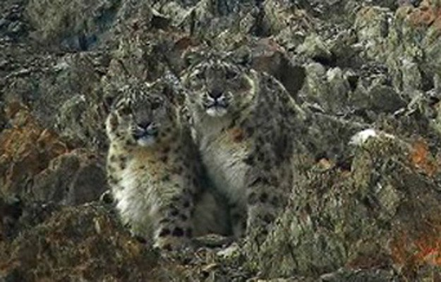 Snow Leopard, India, Himalayas, Naturalist Journeys, India Wildlife Tour