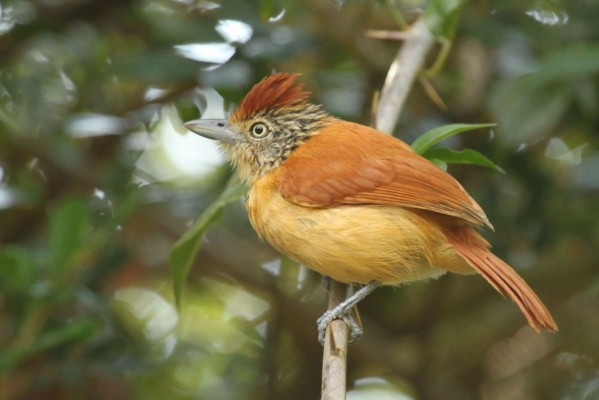 Barred Antshrike, Panama, Naturalist Journeys, Panama Wildlife Tour