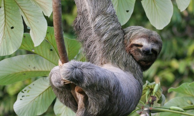 Three-toed Sloth, Panama, Naturalist Journeys, Panama Wildlife Tour