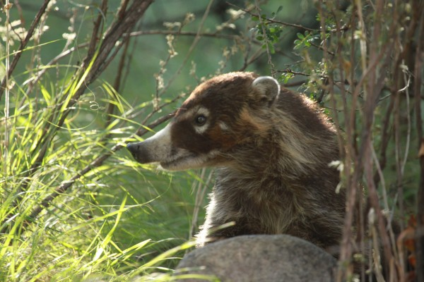 Coati, Panama, Naturalist Journeys, Panama Wildlife Tour