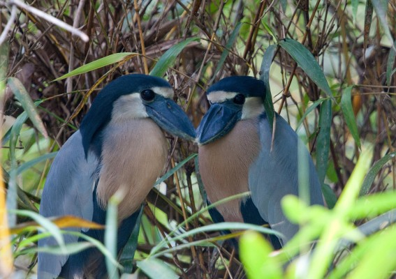Boat-billed Heron, Panama, Naturalist Journeys, Panama Wildlife Tour