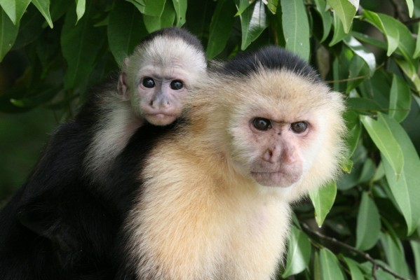 Capuchin Monkeys, Guatemala, Naturalist Journeys, Guatemala Birding Tour, Guatemala Nature Tour