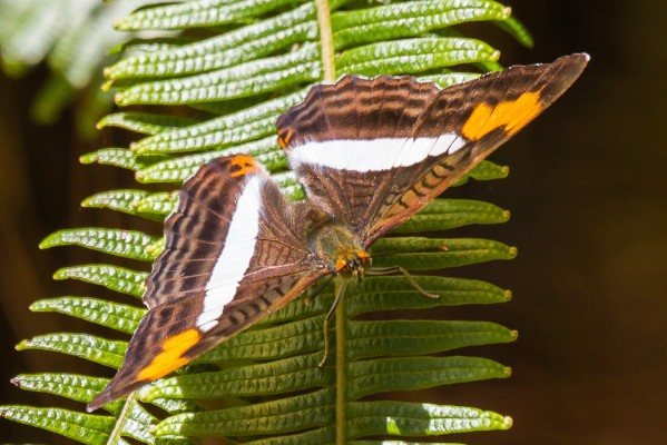 Brown Butterfly, Guatemala, Naturalist Journeys, Guatemala Birding Tour, Guatemala Nature Tour