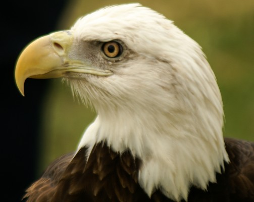 Bald Eagle, South Florida, Naturalist Journeys, Florida Birding Tour