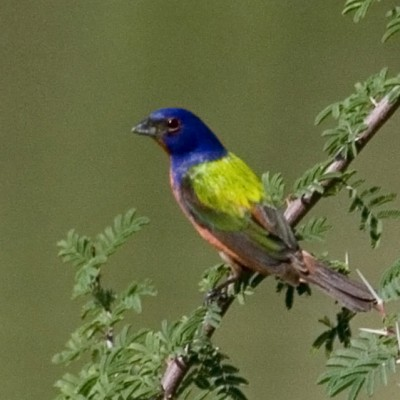 Painted Bunting, Texas Hill Country, Texas, Texas Hill Country Birding Tour, Naturalist Journeys