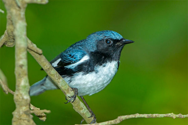 Black-throated Blue Warbler, Ohio, Spring Migration Tour, Ohio Migration Tour, Ohio Birding Tour, Naturalist Journeys