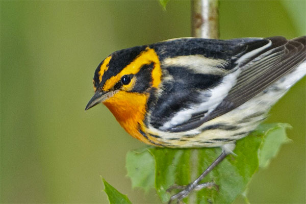 Blackburnian Warbler, Ohio, Spring Migration Tour, Ohio Migration Tour, Ohio Birding Tour, Naturalist Journeys