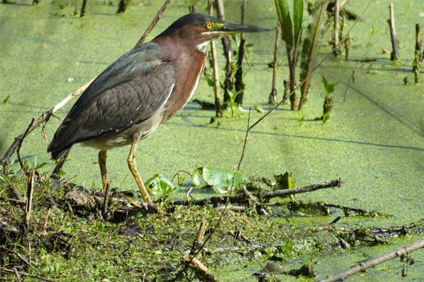 Green Heron, Ohio, Spring Migration Tour, Ohio Migration Tour, Ohio Birding Tour, Naturalist Journeys