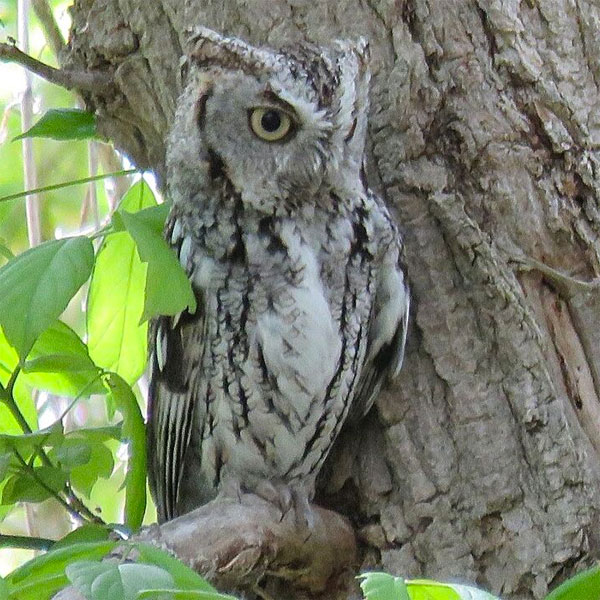 Eastern Screech Owl, Ohio, Spring Migration Tour, Ohio Migration Tour, Ohio Birding Tour, Naturalist Journeys