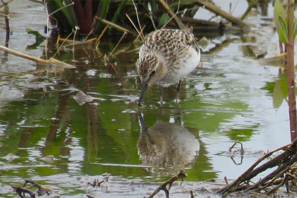 Semipalmated Sandpiper, Ohio, Spring Migration Tour, Ohio Migration Tour, Ohio Birding Tour, Naturalist Journeys