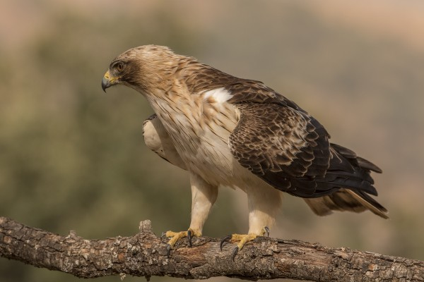 Booted Eagle, Spanish Birding Tour, Spain, Naturalist Journeys