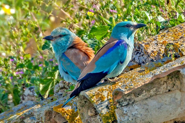 European Roller, Spanish Birding Tour, Spain, Naturalist Journeys