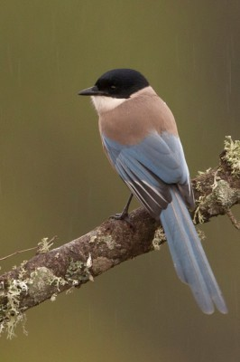 Azure-winged Magpie, Spanish Birding Tour, Spain, Naturalist Journeys