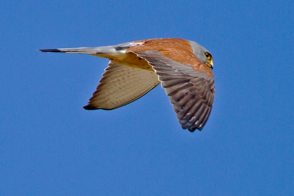 Lesser Kestrel, Spanish Birding Tour, Spain, Naturalist Journeys