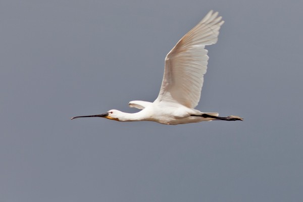 Eurasian Spoonbill, Spanish Birding Tour, Spain, Naturalist Journeys