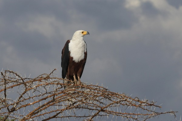 Africa Fish Eagle, Tanzania, Tanzania Wildlife Safari, Naturalist Journeys
