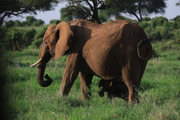 Elephant and Baby, Tanzania, Tanzania Wildlife Safari, Naturalist Journeys