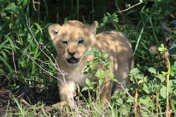 Lion Cub, Tanzania, Tanzania Wildlife Safari, Naturalist Journeys