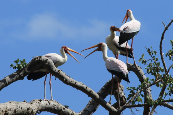 Yellow-billed Stork Rookery, Tanzania, Tanzania Wildlife Safari, Naturalist Journeys