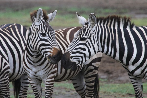 Zebras, Tanzania, Tanzania Wildlife Safari, Naturalist Journeys