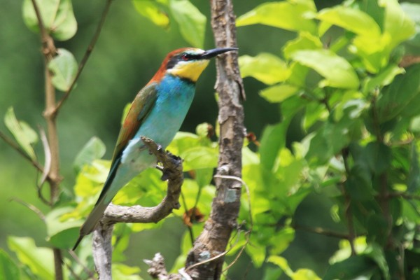 European Bee-eater. Tanzania, Tanzania Wildlife Safari, Naturalist Journeys