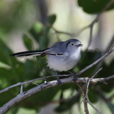 Cuban Gnatcatcher, Cuba Birding Tour, Cuba, Naturalist Journeys