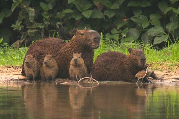 Capybara, Pantanal, Brazil, Naturalist Journeys, Pantanal Safari, Pantanal Wildlife Tour