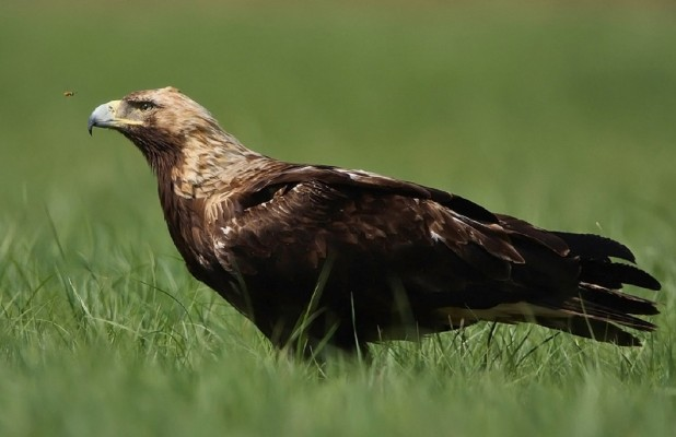 Imperial Eagle, Austria, Hungary, Naturalist Journeys, European Birding Tour, European Nature Tour
