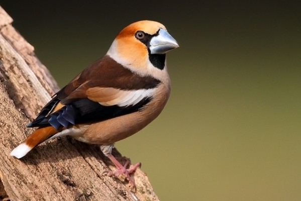 Hawfinch, Austria, Hungary, Naturalist Journeys, European Birding Tour, European Nature Tour