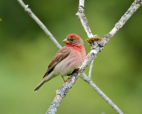 Common Rosefinch, Austria, Hungary, Naturalist Journeys, European Birding Tour, European Nature Tour